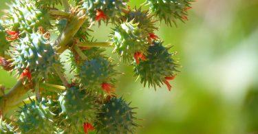 Fruit ricin